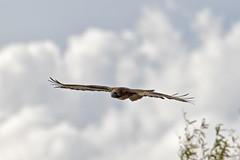 Hawk and Clouds (lennycarl08) Tags: california birds northerncalifornia hawk raptor birdofprey sacramentonwr