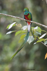 Resplendant Quetzal male (robertgoodell72239) Tags: male latinamerica vertical photography highlands costarica day adult fulllength nopeople perched frontview animalsinthewild pharomachrusmocinno colorimage beautyinnature talamancamountainrange savegrelodge onebird animalthemes animalbehavior resplendantquetzal sangerardodedota