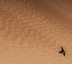 Flying in desert (haidarism (Ahmed Alhaidari)) Tags: bird nature birds fly flying sand desert