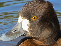 Lesser Scaup (Aythya affinis) (ekroc101) Tags: birds vancouver bc stanleypark lesserscaup aythyaaffinis