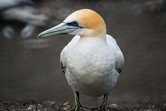 Over There Gannet (fate atc) Tags: newzealand auckland nz northisland sleek seabird gannet muriwai gannetcolony
