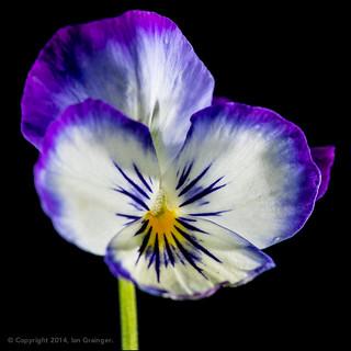 96/100 - White & Purple Viola