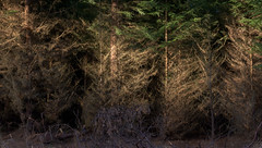 Tree Light.jpg (Dylan Nardini) Tags: trees winter sea beach water forest scotland fife sands 2014 tentsmuir