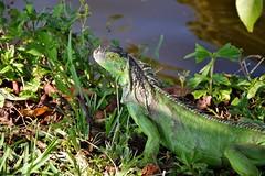 Young Iguana (stepposaurus) Tags: coral canal florida young springs iguana