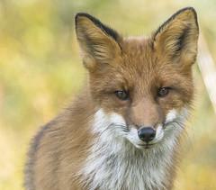 Red fox (Vulpes vulpes) (Werner-Q) Tags: norge norwegen redfox jotunheimen vulpesvulpes rotfuchs norwaz rdrev
