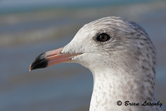 Closeup of Ring-billed Gull (Brian Lasenby) Tags: ocean pink white lake ontario canada color bird beach nature water animal closeup composition coast head niche wildlife gull feathers environment aquatic ornithology scavenger wetland freshwater grandbend plumage ringbilledgull birdfeatures