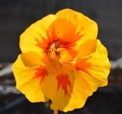 Nasturtium Tropaeolum majus dark yellow and orange heart (brigitte.watz) Tags: oslo norway tropaeolum nasturtium majus blomkarse dekorasjoner spiselig sommerblomst blomsterbed ettrig