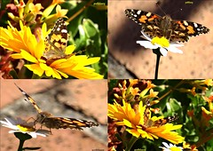 A  butterfly collage (pat.bluey) Tags: butterfly g australia newsouthwales 1001nights mygarden goldenscene 1001nightsmagiccity gardenblacktownbutterflynew