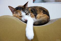 20140804-DSC02184 (Noelas) Tags: pet cat dc momo 04 sony taiwan mo taipei     08   2014 rx100
