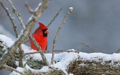 Snowy Cardinal (Jim-B-1979) Tags: nature birds outdoors cardinal