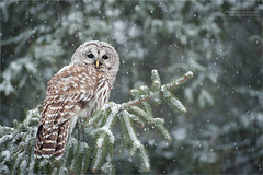 Barred Owl in Snow (www.matthansenphotography.com) Tags: winter white snow tree bird nature animal pine forest wildlife evergreen owl setting habitat spruce avian birdofprey barredowl matthansenphotography