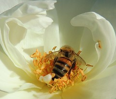 riding the wave... (all one thing) Tags: white flower nature rose insect bee honeybee icebergrose ridingthewave sturgeonmemorialrosegarden