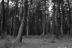 Pinares del Titar (Marmotuca) Tags: ro lic pinos pinar troncos extremadura talayuela zepa titar espacioprotegido provinciadecceres rotitar pinardetalayuela rednatura2000 pinosdetalayuela corredorecolgicoydebiodiversidad