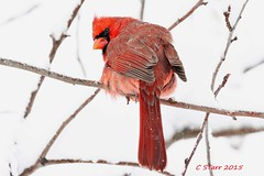 199 male red cardinal (starc283) Tags: winter bird nature canon cardinal wildlife birding blizzard redcardinal maleredcardinal starc283