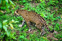 Onça Pintada (Milton Place) Tags: brazil animals brasil fauna canon zoo macaco manaus tartaruga anta garça amazonas papagaio onça t3i tucano periquito jacare zoologico 2015