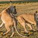 Lioness Dance Maasai Mara