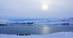 Icelandic essentials: fjord and horses :) (lunaryuna) Tags: winter panorama snow cold ice season landscape iceland fjord lunaryuna wintersun hvalfjoerdur abovethearcticcircle
