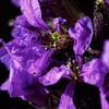 Microfleurs violettes (domiloui) Tags: flowers flower macro fleur composition fleurs plante flickr violet creation lumiere mauve campagne couleur plantes ambiance cooliris abaucourt infinitexposure