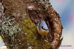IMG_1931 (sullivan) Tags: nature animal taiwan sullivan  eurasiannuthatch  ef300mmf4lisusm     canoneos7d         adobephotoshoplightroom5 suhaocheng