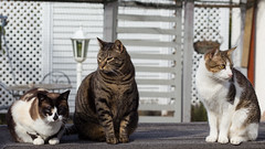 Bunch of Gangstas (No_Water) Tags: sun snowshoe tabby tiger harry katze bruno sittin klisa