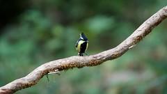 Indian Yellow Tit (Subramaniam, Karthik) Tags: india birds westernghats dandeli indianbirds ganeshgudi birdsofsouthindia karthiksubramaniam