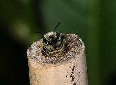 Peek-a-bee (Jenny Thynne) Tags: insect nest australia brisbane bamboo bee queensland leafcutter simplex hymenoptera megachilidae megachile pollinator eutricharaea