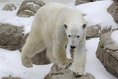 Happy International Polar Bear Day (ucumari photography) Tags: ucumariphotography anana internationalpolarbearday ursusmaritimus ourpolaire oursblanc oso bear animal mammal ice nc north carolina zoo february 2015 osopolar dsc4020 specanimal 北極熊