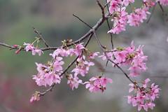 ~~ (yvone042488) Tags: pink flower tree cherry spring blossom