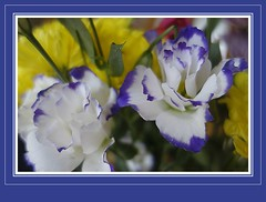 Blue & White (Martina Morris ( Ireland) Thanks for your visit) Tags: birthday pink blue ireland red orange white flower yellow framed sony images 90th lilac bouquet birthdaycard boyle bouquetofflowers birthdaybouquet flowerscloseup coroscommon boylecameraclub martinamorris martinasimpressionsofnature©
