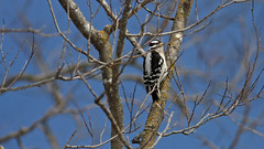 Male Downy Woodpecker (jrussell.1916) Tags: trees winter nature birds morninglight blackwhite downywoodpecker wildlife woodpeckers canon400mmf56lusm lakelenexa