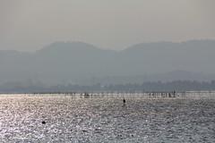 1 (Yorozuna / ) Tags: lake reflection japan shiga fishery  biwako riffle watersurface  makino   takashima lakebiwa      fishingindustry     lakesurface       kaidu    kaiduosaki