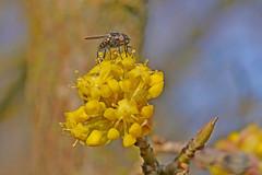 A fly sipping nectar on a European cornel. (Bienenwabe) Tags: flower macro insect fly spring springflowers cornel fliege corneliancherry cornusmas cornus cornaceae flowermacro kornelkirsche gelberhartriegel europeancornel kartriegel