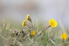 Coltsfoot - Tussilago farfara - Klein hoefblad (Mark Meijrink) Tags: yellow spring yellowflower grassland geel springflowers yellowflowers coltsfoot tussilagofarfara voorjaar westervoort kleinhoefblad gelebloemen gelebloem voorjaarsflora voorjaarsbode