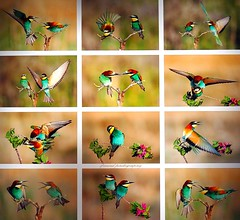 Birds in Israel (2) - Bee-eaters collage (jackfre2) Tags: israel birds owls kingfishers falcon hula hulabirdpark birdwatching agamonhahula beeeaters