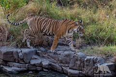 Bengal Tiger (fascinationwildlife) Tags: park wild summer india nature animal female creek forest cat mammal big asia wildlife tiger natur national predator bengal ranthambhore
