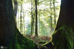 Light through the forest, Bleialf, Schnee Eifel, Germany (Jacco Vasseur Fotografie) Tags: schnee trees sun sunlight tree nature forest germany landscape bomen nikon natuur boom eifel bos duitsland landschap bleialf woodscape vasseur nikond5200 jaccovasseur