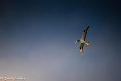 Australasian Gannet gliding the dawn (Erwin J) Tags: australasian bird gannet north queensland stradbrokeisland nikon