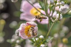 Two Bees (Vladi Stoimenov) Tags: bavariabayern d610 germany lightroom6 munich nikkor nikon schrebergarten bokeh flight monopod nohdr nofilter insects flower rose green dof