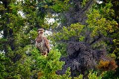 Bald Eagle on Lookout (MIKOFOX  Show Your EXIF!) Tags: canada bird eagle fujifilmxt1 yukon june spruce baldeagle xt1 showyourexif mikofox summer xf18135mmf3556rlmoiswr
