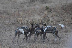 10075531 (wolfgangkaehler) Tags: africa playing nationalpark african wildlife predator zambia africanwilddog southernafrica predatory 2016 africanhuntingdog zambian southluangwanationalpark africanwilddoglycaonpictus