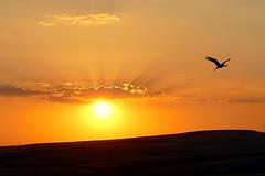 El vuelo de la cigea (alfonsocarlospalencia) Tags: luz sol contraluz amarillo cielo segovia alas nubes puesta naranja ocaso brilliant horizonte cigea tierra vuelo crepsculo rayos oeste