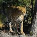 Leopard beauty