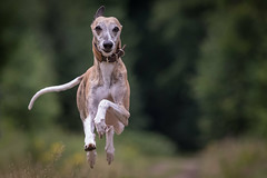 I believe I can fly... (Bea Antoni) Tags: dog pet animal canon action whippet hund sighthound perfection tier windhund canonef70200mmf4lisusm canoneos7dmarkii