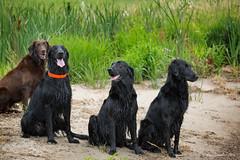 Four Good Blazingstar Dogs (Blazingstar) Tags: flatcoated retriever dog black liver wet pond training