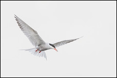 Common Tern (John R Chandler) Tags: uk bird animal inflight unitedkingdom places goose coventry tern westmidlands warwickshire wildfowl greylaggoose commontern brandonmarsh warwickshirewildlifetrust wildlifeassociatedmiscellaneous