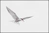 Common Tern (John R Chandler) Tags: animal bird brandonmarsh commontern goose greylaggoose inflight tern unitedkingdom warwickshire warwickshirewildlifetrust wildfowl coventry westmidlands uk sternahirundo