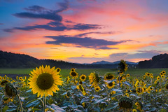 Sunflower Field at Sunset (FengboLi) Tags: sunflower sunset sun light clouds pink purple blue gold asheville northcarolina field meadow floral blossom leaves vibrant