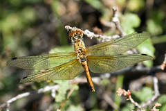 Dragonfly (LeftCoastKenny) Tags: yosemitenationalpark insect dragonfly tuolumnemeadows