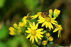 Chaleur (BrigitteChanson) Tags: t insecte insect insecto insetto fleurs flowers fiori flores jaune giallo yellow amarillo