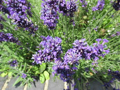 23/7/2016, 205/365, The sweet smell of lavender IMG_3122 (tomylees) Tags: lavender flowers braintree essex district museum garden project 365 july 23rd 2016 saturday